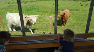 Meeting the Highland Cows on the Farm Safari
