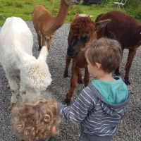 Down on the Farm - Feeding Alpacas at Skate Rumple Farm, Orkney